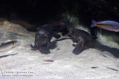 DSC_8449 (slamto) Tags: australia sydneyaquarium sydneysealifeaquarium platypus