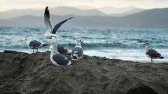 Seagulls (sramses177) Tags: ocean sanfrancisco california sea usa seagulls seascape mountains bird beach birds animal animals landscape freedom coast seaside pacific outdoor olympus shore vgel bakerbeach seabirds omd mven faune