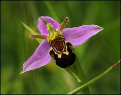 Bee Orchid IV (glostopcat) Tags: plant orchid wildflower glos beeorchid prestburyhillnaturereserve