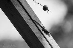 Beneath a Rose Hip (Gabriel FW Koch) Tags: lizard animal boards lines texture bw telephoto lseries eos dof canon tail