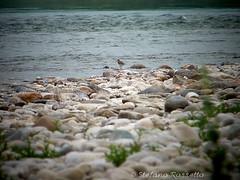_S957529653 (Rosshox) Tags: naturalphotography natura wildlife action animals animali fujifilm fujifilmxs1 volatili
