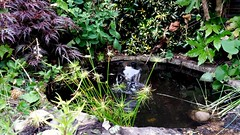 july 9 (inthepinkJune) Tags: work garden pond pump papyrus weeding centrek