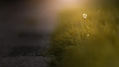 Damals am Wegesrand (PixTuner) Tags: gnseblmchen sunset sonnenuntergang rasen gras flower sun light way pixtuner green