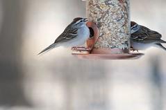 2016 Chipping Sparrow 8 (DrLensCap) Tags: park chicago bird robert nature illinois village north center il sparrow kramer chipping