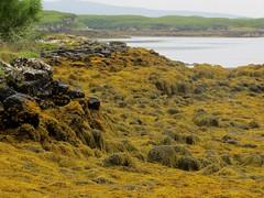 Les algues du Loch Dunvegan, Dunvegan castle, le de Skye, Ross and Cromarty, Highland, Ecosse, Grande-Bretagne, Royaume-Uni. (byb64) Tags: dunvegan dunvegancastle dnbheagain clanmacleod macleod mcleod strath skye isleofskye ledeskye innerhebrides hbrides hbridesintrieures le isle island isla rossandcromarty ross rossshire highland highlands loch ecosse escocia schottland scotland scozia grandebretagne greatbritain grossbritanien granbretana royaumeuni reinounido vereinigtesknigreich ue uk unitedkingdom eu europe lochdunvegan algues algae alge alga paysage paisaje paesaggio landschaft landscape vue view vista veduta