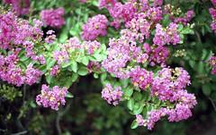 Pink Flower (heliarkorea) Tags: plants flower slr 50mm pinkflower f17 contaxrx dmparadise200film