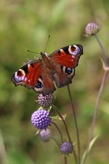 Neitoperhonen - Peacock - Nymphalis io (liisatuulia) Tags: neitoperhonen porkkala nymphalisio peacock butterfly purtojuuri