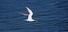 Tern With Fish, i (F.emme) Tags: terns birds bolsachica bolsachicaecologicalreserve bolsachicawetlands wetlands shorebirds negativespace