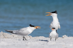 """Room Service"" (PeterBrannon) Tags: beach bird fish florida largetern mnagetrois nature royaltern tern thalasseusmaximus wildlife courtship jealousy mating ocean"