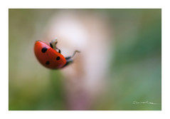 Gravity. (smoothna) Tags: gravity ladybird poland macro smoothna d90 nature red dots