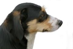 PINA (Renato Morselli) Tags: pina cane dog sketchbookpro profilo