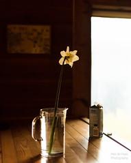 ND5_0960_Lr-edit (Alex-de-Haas) Tags: nederland noordholland thenetherlands bloem bloemen daffodil daffodils flower flowers narcis narcissen narcissus vaas vase