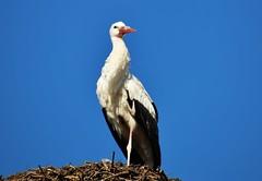 Bird (Hugo von Schreck) Tags: bird animal outdoor stork tier vogel storch yourbestoftoday tamron28300mmf3563divcpzda010 canoneos5dsr hugovonschreck