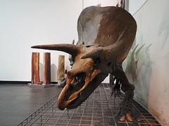 Triceratops mit verkieselten Stmmen (1elf12) Tags: triceratops frankfurtammain museum senckenberganlage naturmuseum senckenberg germany deutschland baum knochen versteinert skelett bones dinosaur