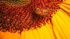 Tournesol (Yasmine Hens) Tags: sunflower tournesol jaune yellow abeille macro flickr fleur flower bloem blum orange vie insecte insect hensyasmine hens yasmine namur belgium wallonie europa panasonicdmcgx8 wow brilliant brillant lumixgvario14140f3556