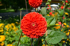 Gärten der Welt (Gardens of the World) (Björn O) Tags: gärten garten garden botanik pflanze pflanzen plant plants flower flowers blume blumen rot red blühen blüte blossom blüten