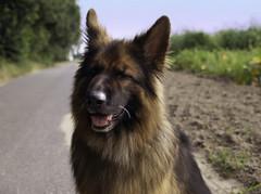 Tag 97 (Gitta Martin) Tags: 100tagefotoaktion hund nanko schferhund altdeutscher feld german shepherd rde 41379 brggen sony alpha 57 hunderasse tier reinrassig