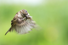 Sparrow on the hunt (207/366) (AdaMoorePhotography) Tags: sparrow hunting hunt food lunch dinner flying hover wildlife wild nikon nature natural rspb rainham rainhammarshes marsh marshes countryside 200500mm 366 england essex d7200 bird