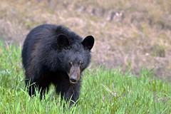 WITH TREPIDATION, SLOWLY GREET  -  (Selected by GETTY IMAGES) (DESPITE STRAIGHT LINES) Tags: nikon d800 nikond800 nikkor200500mm nikon200500mm nikongp1 paulwilliams despitestraightlines flickr gettyimages getty gettyimagesesp despitestraightlinesatgettyimages bear blackbear adultblackbear wildanimal wildbear claws paw paws fur nature mothernature ursusamericanus animalia carnivora prophetriver muskwa