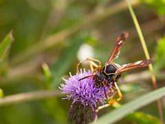 Hornet10-26a (sknight56) Tags: bee hornet insect minnesota canon pollen