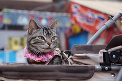 cat #1372 (K-nekoTR) Tags:  cat americanshorthair beautiful cute kitty pretty pet animal japan japanese sony