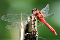 darter (alpenfrankie) Tags: canon eos 1100d animals wildlife nature insects wings