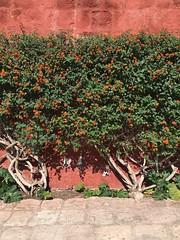 Arequipa, Peru (zzhing) Tags: red monastary santacatalina arequipa peru plant flowers shrubs