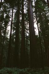 humboldt redwoods, CA (gruesomesonofabitch) Tags: canon film fuji analog california redwoods forest tress adventure nature starwars