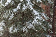 Snow on Spruce Tree (Free Roaming Photography) Tags: americansouthwest arizona arizonatrail aspentrees coloradoplateau desertsouthwest evergreentrees hikingtrail kaibabnationalforest kaibabplateau northernarizona ponderosapinetrees snow snowontrees snowstorm snowfall snowing sprucetrees winterweather jacoblake unitedstates