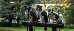32/52 'Dogs on Leads' (JJFET) Tags: 32 52 weeks for dogs mist border collie dog sheepdogs