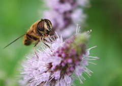 happy bee (sbilfy) Tags: ape fiore bee flower montagna mountain barcis