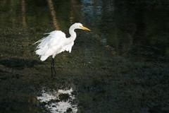 ruffled (epicDi) Tags: birds egrets reflection water nature ontario