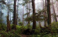 Misty Forest (Olympic Peninsula, Second Beach La Push, WA) (Sveta Imnadze.) Tags: mist fog olympicpeninsula wa hiking trail secondbeach