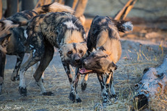 Chitabe-28 (Photography by Brian Lauer) Tags: wild dog dogs wildlife wilderness nikon nikonphotography explore more elephant elephants saddlebilledstork lions lion landscape african zebra lilacbreastedroller chitabe lediba wearewilderness safaris botswana