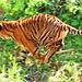 Sumatran Tiger, Del Run!!! : 駆ける虎