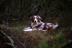 Yuma (arkaniyuma) Tags: light dog pet forest dark denmark shepherd australian aussie