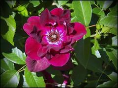 Burgundy Iceburg (MissyPenny) Tags: flower rose garden burgundy floribunda pinkpurple burgundyiceburg