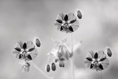 Cranesbill Geranium (Mah Nava) Tags: blackandwhite bw flower sw blume geranium cranesbill wildgeranium geraniummaculatum geranie cranesbillgeranium hardygeranium schwarzundweis
