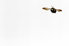 just bee (Marc McDermott) Tags: bee carpenter minimalism white background nature insect 7dmarkii ef 400mm f56l usm