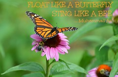 """""""Float Like A Butterfly, Sting Like A Bee"""" (Greg's Southern Ontario (catching Up Slowly)) Tags: nature butterfly nikon quote insects bee muhammadali naturephotography nikond3200 quotephotography"""