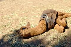 (andrew.van) Tags: alpaca animal babyanimal
