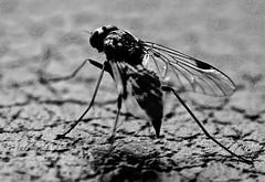 Fly (heiko.moser) Tags: fly fliege insekt insect insetto tier tiere animal animale art monochrom mono macro makro noiretblanc natur nb nero nature natura nahaufnahme entdecken einfarbig discover bw blackwihte blancoynegro sw schwarzweiss schwarzweis canon closeup heikomoser