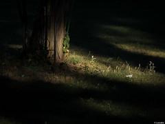 Jugando al escondite en el bosque anocheci (Luicabe) Tags: aire bosque cabello enazamorado exterior libre luicabe luis naturaleza paisaje planta yarat1 zamora zoom rbol ngc