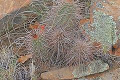 CAD0000068a (jerryoldenettel) Tags: cactus flower nm cactaceae wildflower echinocereus 2016 hedgehogcactus caryophyllales sandstonebluffsoverlook coreeudicots echinocereuscoccineus cibolaco scarlethedgehogcactus elmalpaisnationalconservationarea