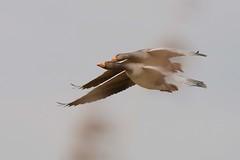 HNS_1990 Grauwe Gans : Oie cendree : Anser anser : Graugans : Greylag Goose