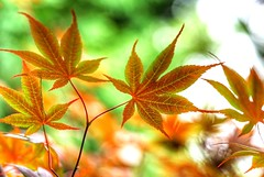 Maple leaves (JPShen) Tags: light leaves leaf maple colorful bokeh