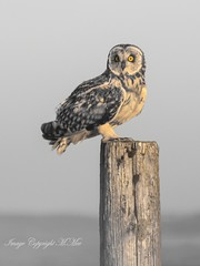 SEO. (nondesigner59) Tags: shortearedowl archives wildlife nature post asioflammeus edited copyrightmmee eos50d nondesigner nd59