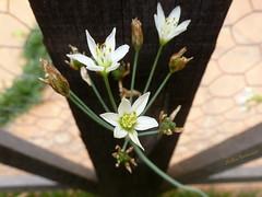 Flores/ Flowers/ Blumen (nadia.veronica) Tags: blumen flowers flores zaun fence cerca