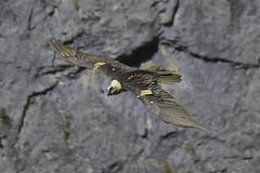 Quebrantahuesos (Gypaetus barbatus) (Benito Jos Castellano Snchez) Tags: quebrantahuesos gypaetus barbatus gypaetusbarbatus beardedvulture lammergeier ossifrage