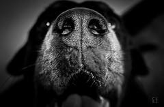 Rottweiler (caBzPeru) Tags: 55mm django faunayflora peru rottweiler blackandwhite blancoynegro blur bnw byn canon dog doggy fotografia friend mascota nature perro photo photography rottie shadow sombras distritodelima departamentodelima per pe
